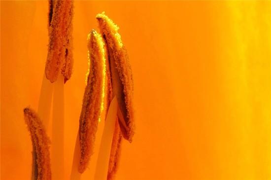 微距鮮花花蕊高清桌面壁