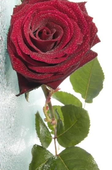 娇艳唯美红色玫瑰手机壁纸