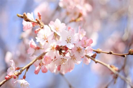 粉色盛开的樱花高清桌面壁纸