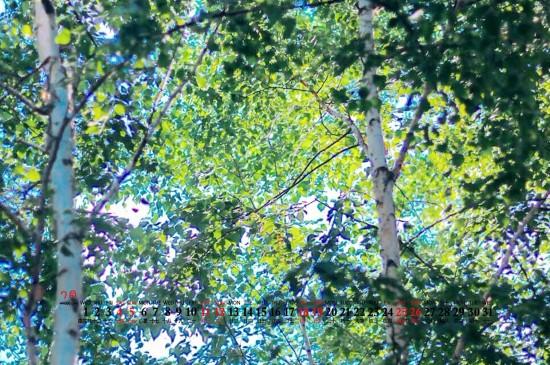 2020年7月绿叶树林高清桌面日历壁纸