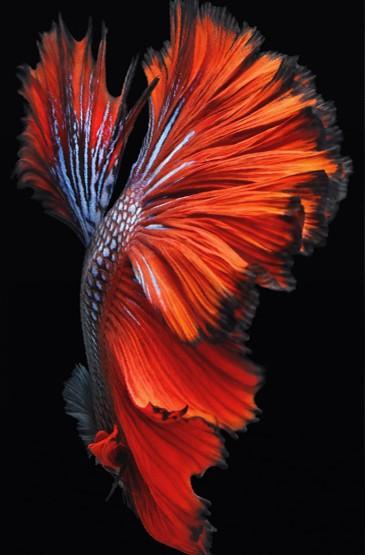 iPhone6s鲤鱼官方壁纸