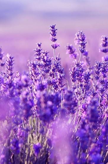 <梦幻紫色花朵花瓣唯美手机壁纸