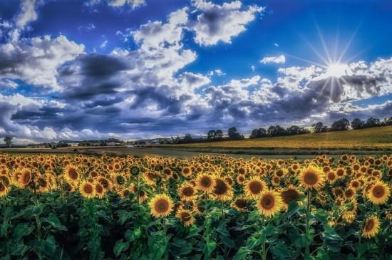 清新唯美向日葵藍天白云