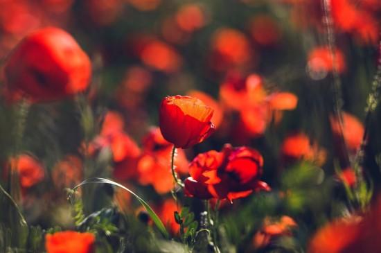 唯美紅色植物花卉圖片
