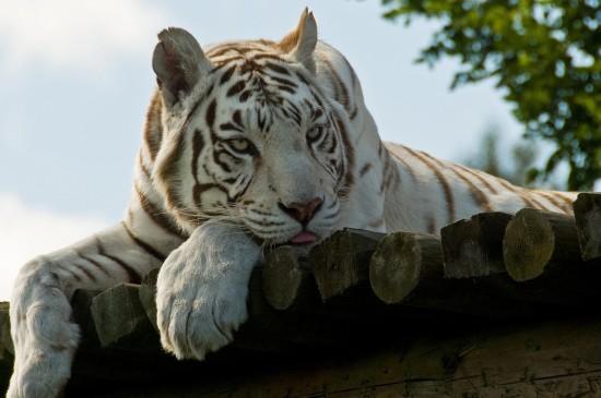 <凶猛野兽白虎图片