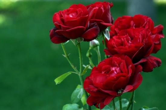 盛開的紅色玫瑰花朵圖片