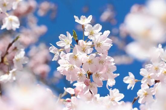 唯美樱花盛开图片