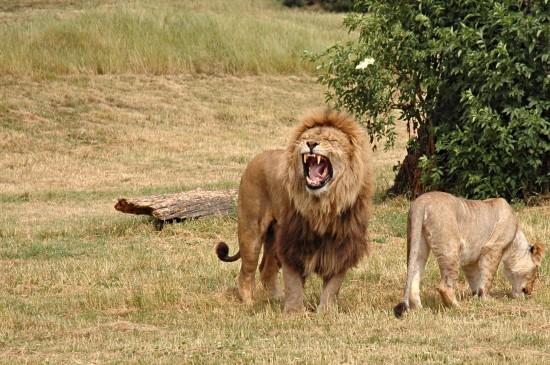 草原上怒吼的獅子圖片