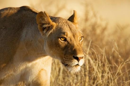 叢林猛獸獵豹圖片