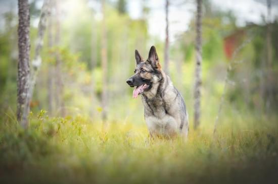 叢林中警犬圖片