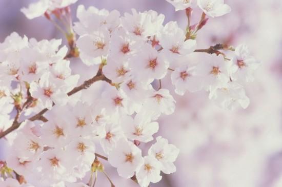 樱花盛开唯美图片