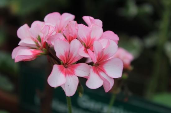 精美粉色花朵圖片