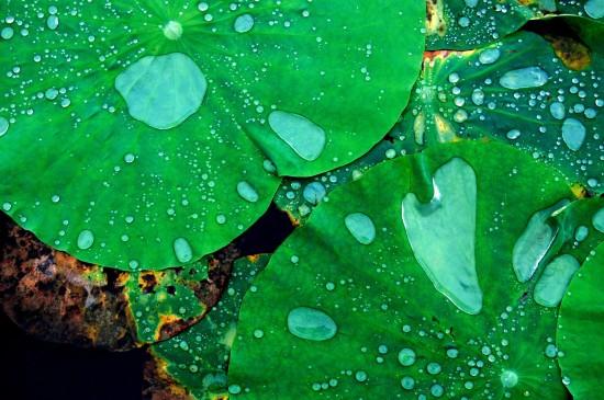 清新綠色荷葉露珠圖片