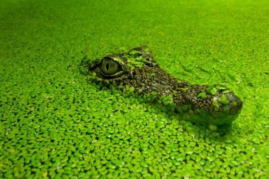 叢林潛伏鱷魚圖片