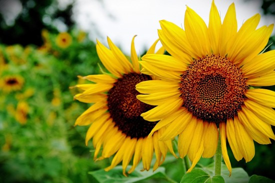向日葵唯美意境图片