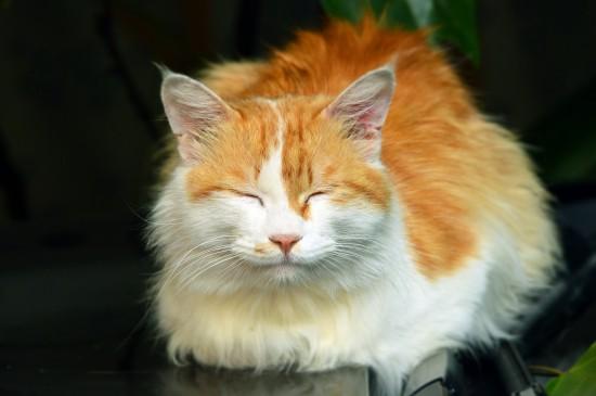 可愛的波斯貓圖片
