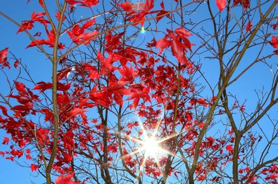 <阳光下红色枫叶图片