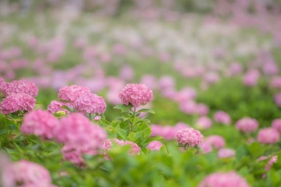 唯美粉色绣球花图片