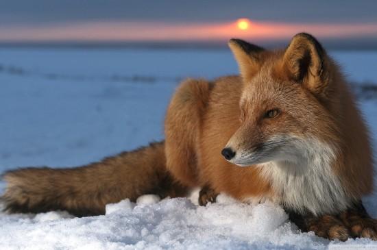 雪地里的狐貍圖片