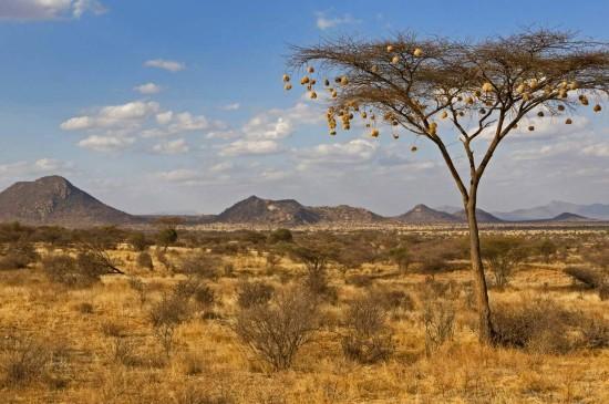 金合欢树上悬挂的织布鸟