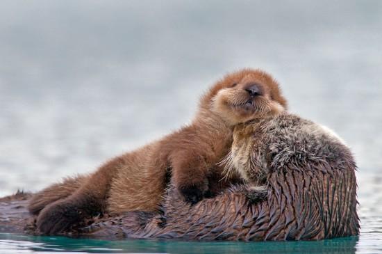 海獺媽媽與小海獺圖片