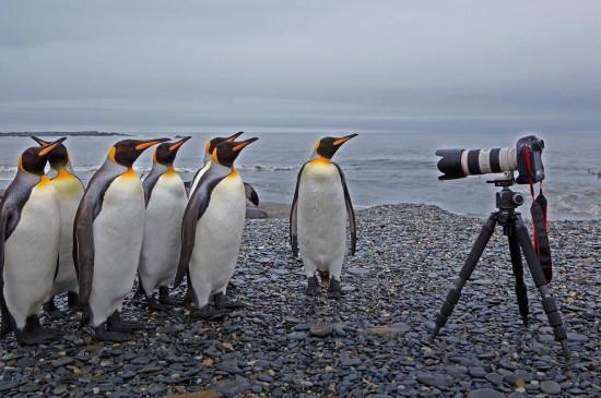 圣安德魯斯灣的國王企鵝