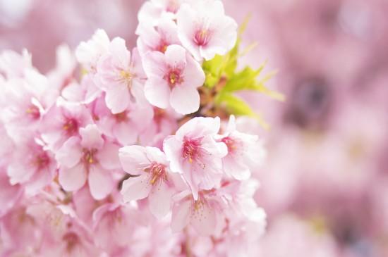 超清粉色樱花唯美高清桌面壁纸
