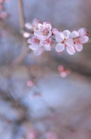 唯美好看樱花图片高清手机壁纸