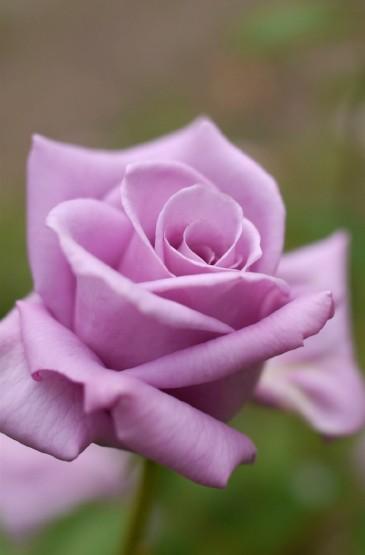 清新唯美玫瑰花手机桌面