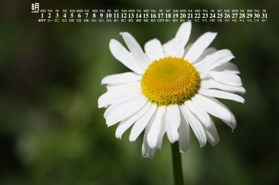 <2018年8月雏菊花卉图片日历壁纸