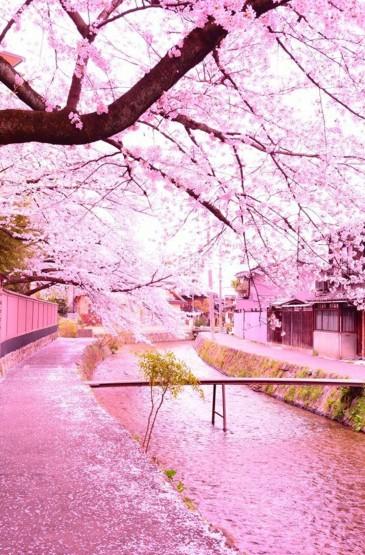 粉色浪漫樱花唯美高清手机壁纸