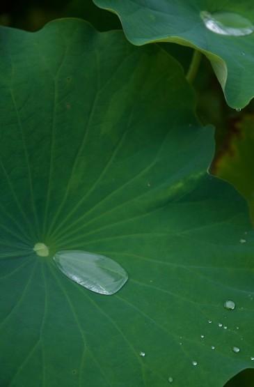 高清护眼绿色荷叶图片手机壁纸