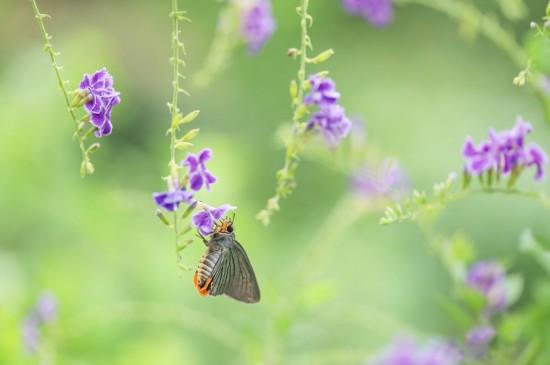 花间蝴蝶唯美高清桌面壁纸