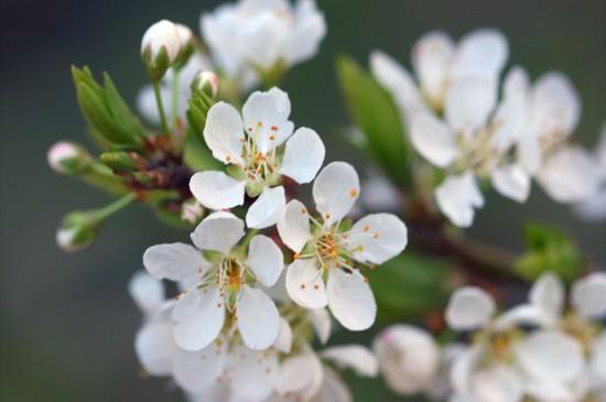 <清新唯美的白梅花图片桌面壁纸