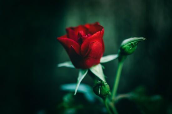 玫瑰花高清电脑桌面壁纸图片