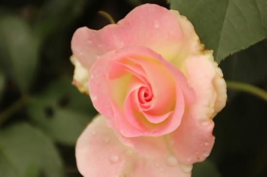 好看的蔷薇花唯美高清桌面壁纸
