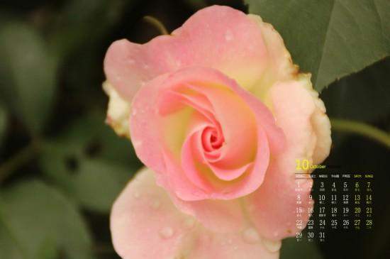 2018年10月好看的蔷薇花唯美高清日历壁纸