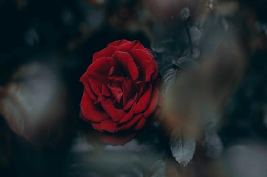 玫瑰花高清宽屏电脑桌面壁纸图片