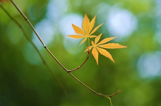 秋日枫叶唯美特写高清桌面壁纸