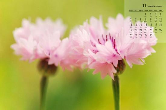 2018年11月清新花卉图片日历壁纸