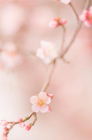 <唯美樱花树图片高清手机壁纸