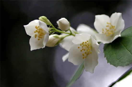 漂亮的茉莉花唯美高清桌面壁纸