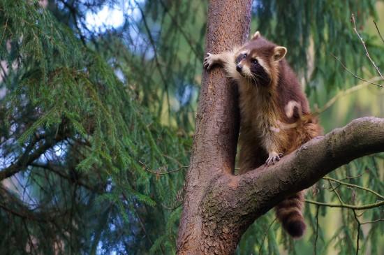 可爱小浣熊干脆面高清小动物萌图桌面壁纸