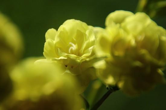 康乃馨唯美微距高清桌面壁纸