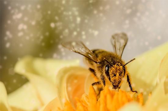 采蜜的蜜蜂唯美高清桌面壁纸