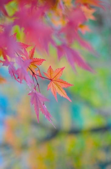 唯美秋日枫叶高清手机壁