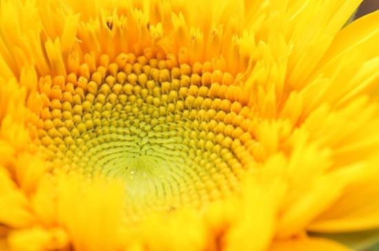 <清新好看的向日葵图片桌面壁纸