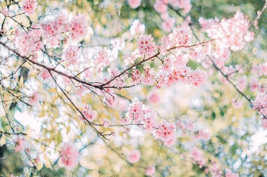 <小清新唯美樱花风景图片桌面壁纸