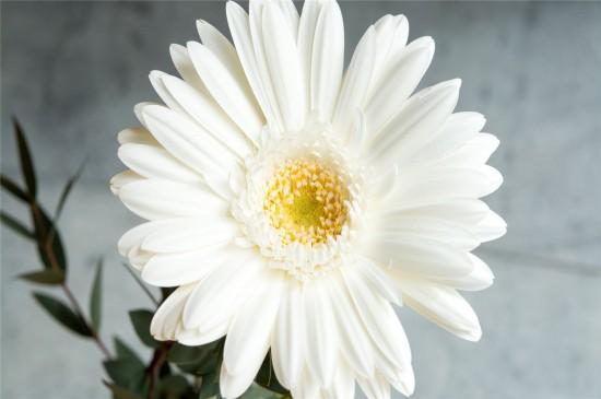 漂亮的白色非洲菊高清桌面壁纸
