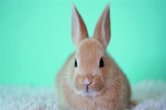 可爱的小兔子高清桌面壁纸